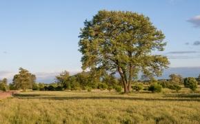 Alder tree pruning