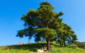 Cedar tree pruning
