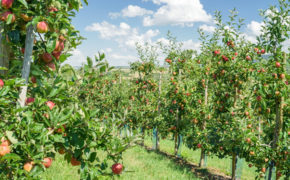 Domestic apple tree