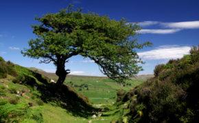 Hawthorn tree pruning