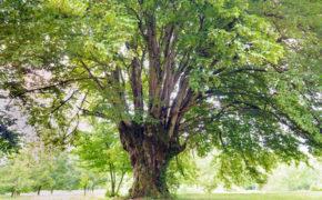 Hornbeam tree pruning