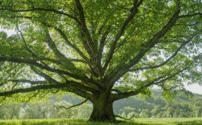 Oak Tree ID