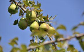 Pear Tree ID
