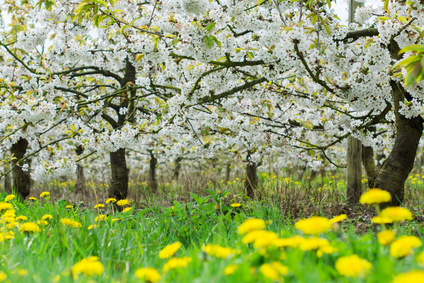 Wild Cherry Tree Tree Works