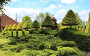 Yew tree pruning